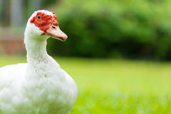 White muscovy ducks. On the garden yard Royalty Free Stock Photos
