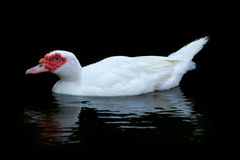 White  Muscovy Ducks Swim in Pond Royalty Free Stock Image