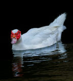 White  Muscovy Ducks Swim in Pond Stock Images