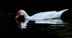 White  Muscovy Ducks Swim in Pond Royalty Free Stock Photography