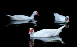 White  Muscovy Ducks Swim in Pond. Ttree white muscovy ducks swim in  pond. Black water and wave reflection of duck Royalty Free Stock Photo