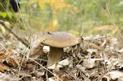 White mushroom in autumn forest.  Stock Images