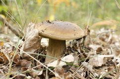 White mushroom in autumn forest.  Royalty Free Stock Photo