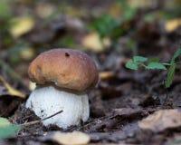 White mushroom boletus Royalty Free Stock Images