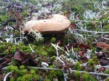 Белый гриб, тундра royalty free stock images