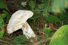 White mushroom in fall forest Royalty Free Stock Photos