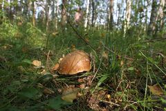 White mushroom in the forest. Overripe white mushroom in the forest, Russia Stock Images