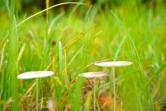 White mushroom in green grass. In the image, there are three white mushroom in green grass Stock Image