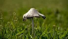 White mushroom. On a green pasture stock photo