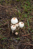 White mushroom on the ground nature Royalty Free Stock Photography