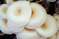 White mushroom group in farm Royalty Free Stock Image