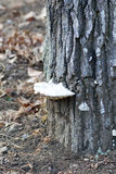 White mushroom growing on a trunk of tree Stock Photo