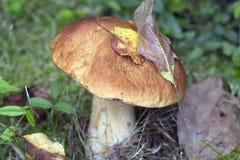 White mushroom (lat. Boletus edulis). Stock Image