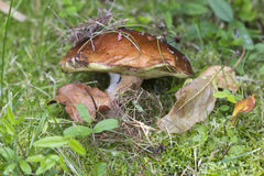 White mushroom (lat. Boletus edulis). Royalty Free Stock Image