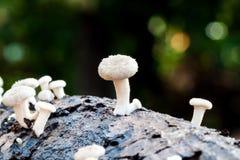 White mushroom log royalty free stock image