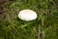 White mushroom on nature in the grass.  Royalty Free Stock Photography