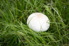 White mushroom on nature in the grass.  Stock Photo