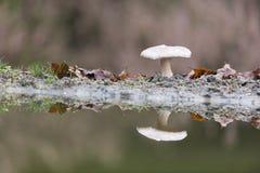 White mushroom in nature Stock Image