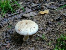 White mushroom. With a spiky cap Stock Photography