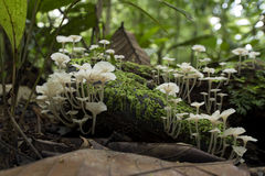 White Mushroom. In the tropical rainforest of Borneo, Malaysia Royalty Free Stock Photography