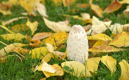 White mushroom and yellow leaves Royalty Free Stock Photo