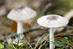 White Mushrooms. Two white mushrooms on the forest floor. Foreground in focus, with background blurred to show depth of field stock photo
