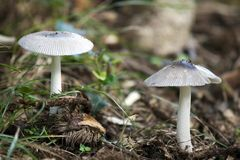 White Mushrooms Royalty Free Stock Image
