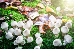 White mushrooms in autumn forest Royalty Free Stock Photos