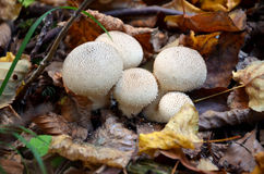 White mushrooms in forest. Macro photography of white mushrooms in forest Stock Photos