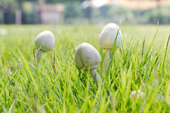 White mushrooms Royalty Free Stock Photos