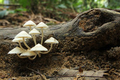White mushrooms growing on decaying wood - Series 2 Stock Photos