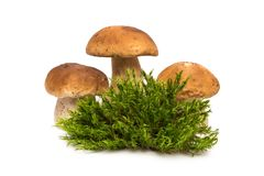 White mushrooms. Three mushrooms about moss. Porcini and moss. Stock Images