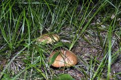 White mushrooms. Two mushrooms made their way to the surface and entangled in the grass stock photos
