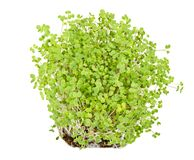 White mustard seedlings in potting compost over white. White mustard seedlings in potting compost. Sprouts, vegetable, microgreen. Shoots and cotyledons of royalty free stock photos
