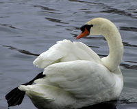 White Mute Swan. In a city park Royalty Free Stock Photos