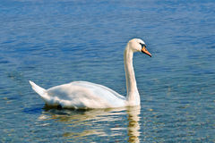 White mute swan Stock Photography