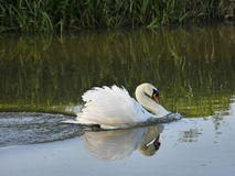 White Mute Swan in Charge swimming in River Royalty Free Stock Photo