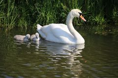 White mute swan with 2 chicks in the water at a ditch in Boskoop, the Netherlands.  royalty free stock photos