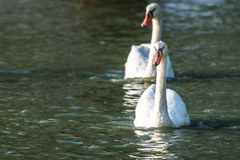 White Mute swan couple (Cygnus olor) swim around their pond on a late summer morning in Ontario, Canada. Royalty Free Stock Images