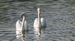 White Mute swan couple (Cygnus olor) swim around their pond on a late summer morning in Ontario, Canada. Royalty Free Stock Photography