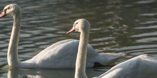 White Mute swan couple (Cygnus olor) swim around their pond on a late summer morning in Ontario, Canada. Stock Photo