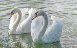 White Mute swan couple (Cygnus olor) swim around their pond on a late summer morning in Ontario, Canada. Stock Photos