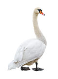 White Mute Swan Cutout Royalty Free Stock Photography