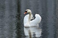 White mute Swan (Cygnus olor) Stock Image