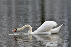 White mute Swan (Cygnus olor) Royalty Free Stock Photography
