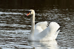 White mute Swan (Cygnus olor) Royalty Free Stock Images