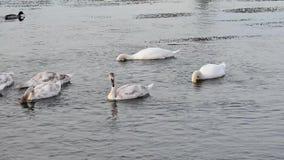 White mute swan family (Cygnus olor) stock footage