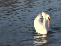 Swan floating on a pond. White mute swan floating on a cristall blue waters of a pond stock video