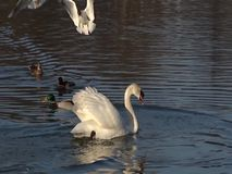 Swan floating on a pond. White mute swan floating on a cristall blue waters of a pond stock video footage