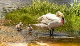 Mom and the three Cygnets royalty free stock images